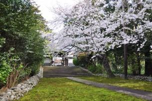 参道の桜開花時